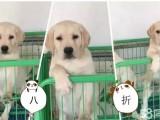 聰明忠誠的拉布拉多導盲犬 賽級巡回獵犬 小七
