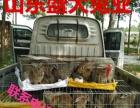 湖南大型杂交野兔养殖场野兔多少钱一只
