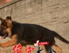 中山狗场出售正宗纯种健康德国牧羊犬 价格公道 健康质量有保障