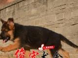 云浮狗场出售正宗纯种健康德国牧羊犬 价格公道 健康质量有保障