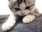 猫舍专业繁殖出售苏格兰 高地 各种折耳猫猫 疫苗已做包健康