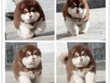 纯种阿拉斯加价格 巨型阿拉斯加雪橇犬
