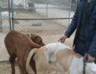全活格力犬、惠比特犬、细犬、当场试活、货到付款