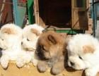邢台哪有松狮犬卖 邢台松狮犬价格 邢台松狮犬多少钱