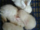 呼市出售兔子