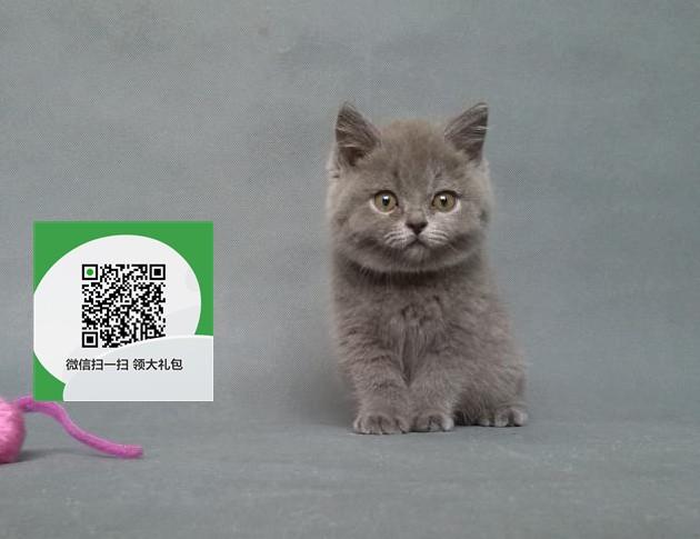 楚雄哪里有宠物店 楚雄哪里卖宠物猫便宜 楚雄蓝猫价格