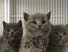 MiuMiu家庭猫舍繁育包子脸蓝猫 保健康 可上门