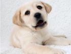 出售高品质拉布拉多幼犬疫苗和虫都定时已做可保证健康