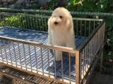 卖巨型贵宾犬 巨型贵宾 重庆出售巨型贵宾犬