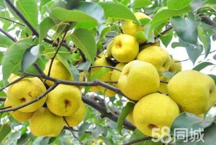 莉春果园 农家果园自产采摘游:各种葡萄梨人生果李子门票免费
