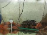 元宝鹦鹉幼鱼转让