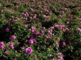 厂家直供 法国进口玫瑰纯露化妆品原料护肤保养 美白补水 含精油