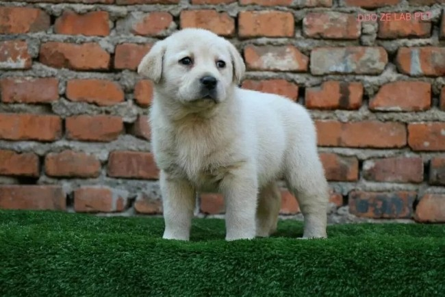 无锡专业低价出售 拉拉 比熊泰迪 巴哥 博美萨摩耶犬品种齐全
