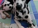 纯种斑点狗 不限量抢购啦 售后三包齐全 保障终身
