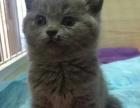 自家猫舍专业繁殖猫咪幼崽