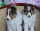 喜乐蒂 保证纯种健康 CKU国际认证犬舍