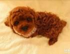 三百出售工作忙没时间养家中一窝泰迪幼犬给爱狗人士抱养