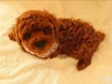三百块一个自家大狗生的一窝纯种可爱泰迪宝宝,没时间养