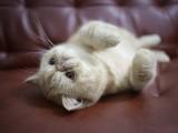 广州什么地方有猫舍卖加菲猫/哪里有卖加菲猫