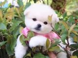 可爱的哈多利球形博美犬 性格乖巧 温顺 听话