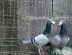 大体型元宝鸽 淑女鸽 凤尾鸽 大鼻子鸽 摩登娜 观赏鸽 肉鸽
