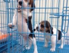 比格犬幼犬多只,犬舍直销保纯保健康 欢迎上门挑选