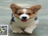 在哪里买纯种的西柯基幼犬 柯基幼犬最低多少钱