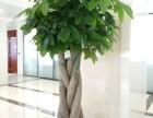 全郑州开业婚庆酒店租赁绿植发财树送货快免费设计鲜花庆典会场