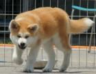 合肥纯种秋田价格 合肥哪里能买到纯种秋田犬