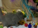 英国短毛猫银渐层折耳猫金吉拉美短蓝猫等短毛猫