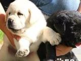 新生拉布拉多幼犬是很正宗 小拉拉可要找个新的家啦