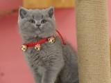 純種英國短毛貓藍貓矮腳活物幼崽藍胖子寵物貓