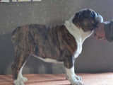 家养一窝纯种英国斗牛犬可以签协议 来家里看狗父母