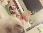 金吉拉小姐姐求公猫配种