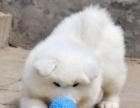 萨摩耶宝宝 随时看狗 多窝选择 疫苗齐全