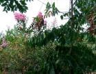 自己家栽种的紫薇,悉心照顾,现已长大,有意愿者可以联系