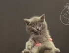 喜欢速度咯 随时看猫 家庭养殖 精品蓝猫幼猫出售