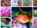 常年出售泰国进口精品罗汉鱼