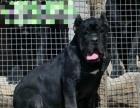 卡斯罗 超纯护卫犬出售
