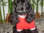 宁波那里有可卡犬卖 宁波可卡犬价格 宁波可卡犬多少钱