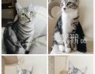 家养美短虎斑猫咪出售啦