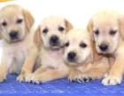 成都狗狗之家長期出售高品質 拉布拉多 售后無憂
