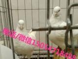 出售公斤鸽落地王种鸽种鸽养殖场
