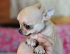 纯种的吉娃娃多少钱 宠物店的狗靠谱吗