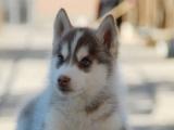 蓝眼睛很淘气的哈士奇犬很活泼跟狼一样的熊飒