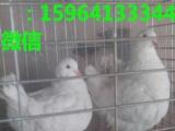 个体养殖元宝鸽价格公斤鸽价格