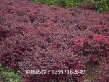 红花继木球苗圃,红花继木球基地,红花继木球产地