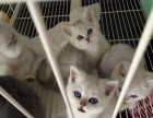 纯种健康的英短猫咪 英短蓝猫 短毛猫 性格实在好
