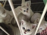 純種健康的英短貓咪 英短藍貓 短毛貓 性格實在好