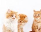 自家养的加菲猫。